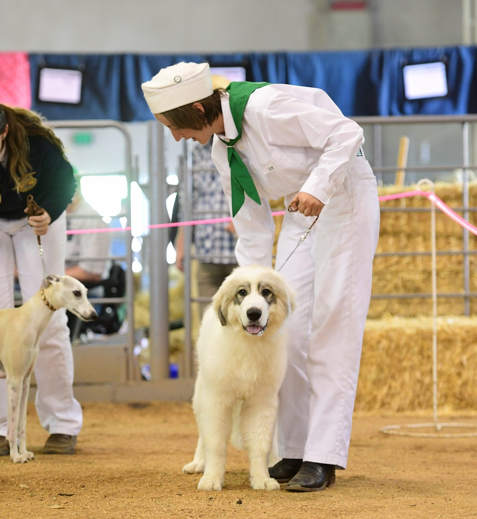 Show dog standing with person