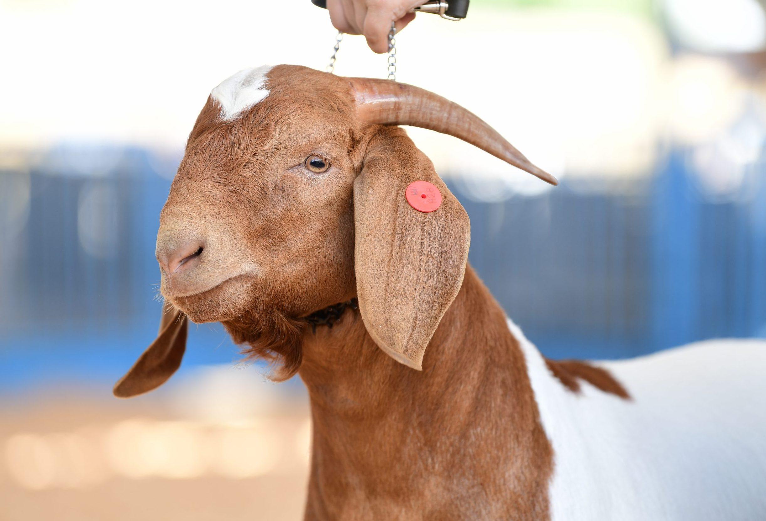 Goat - boer
