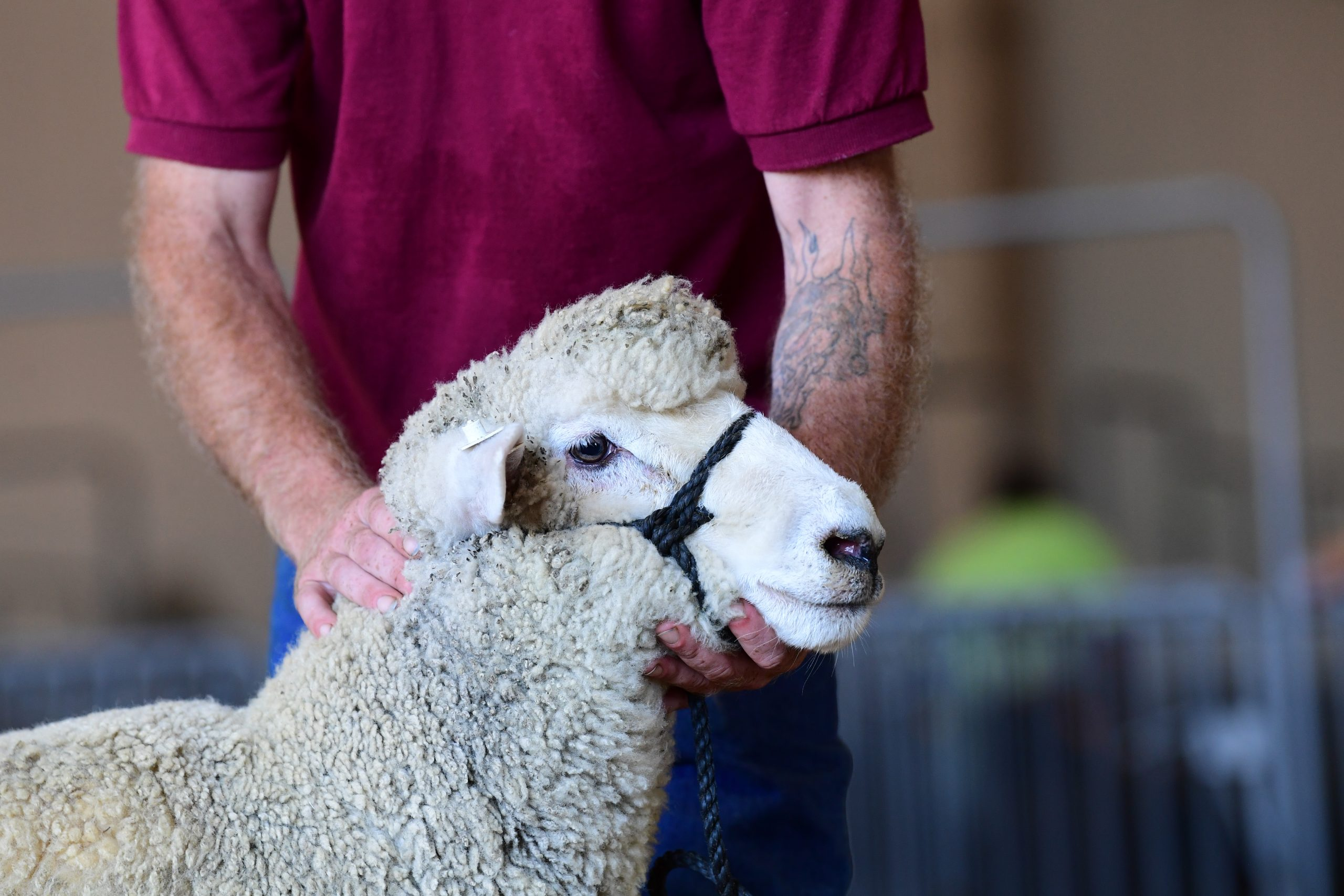 Sheep being held by a person