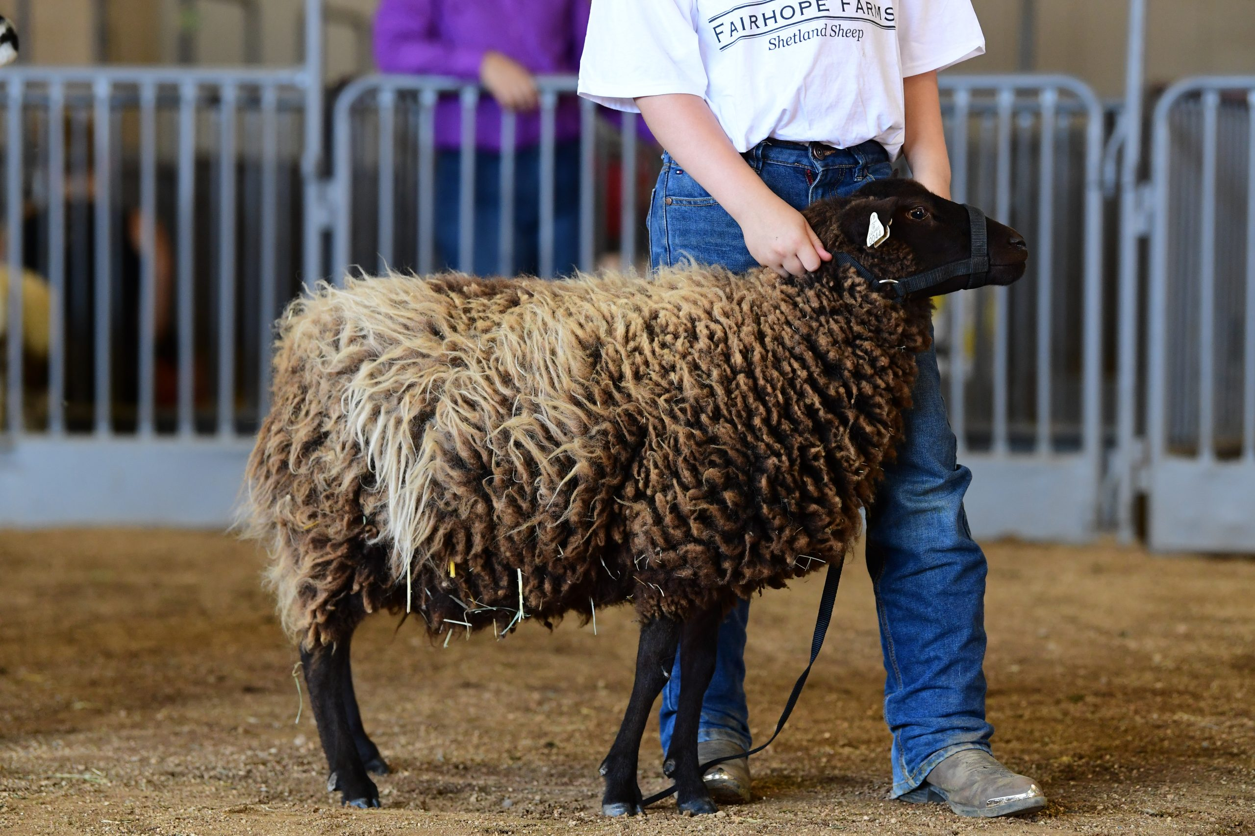Sheep standing next to a person