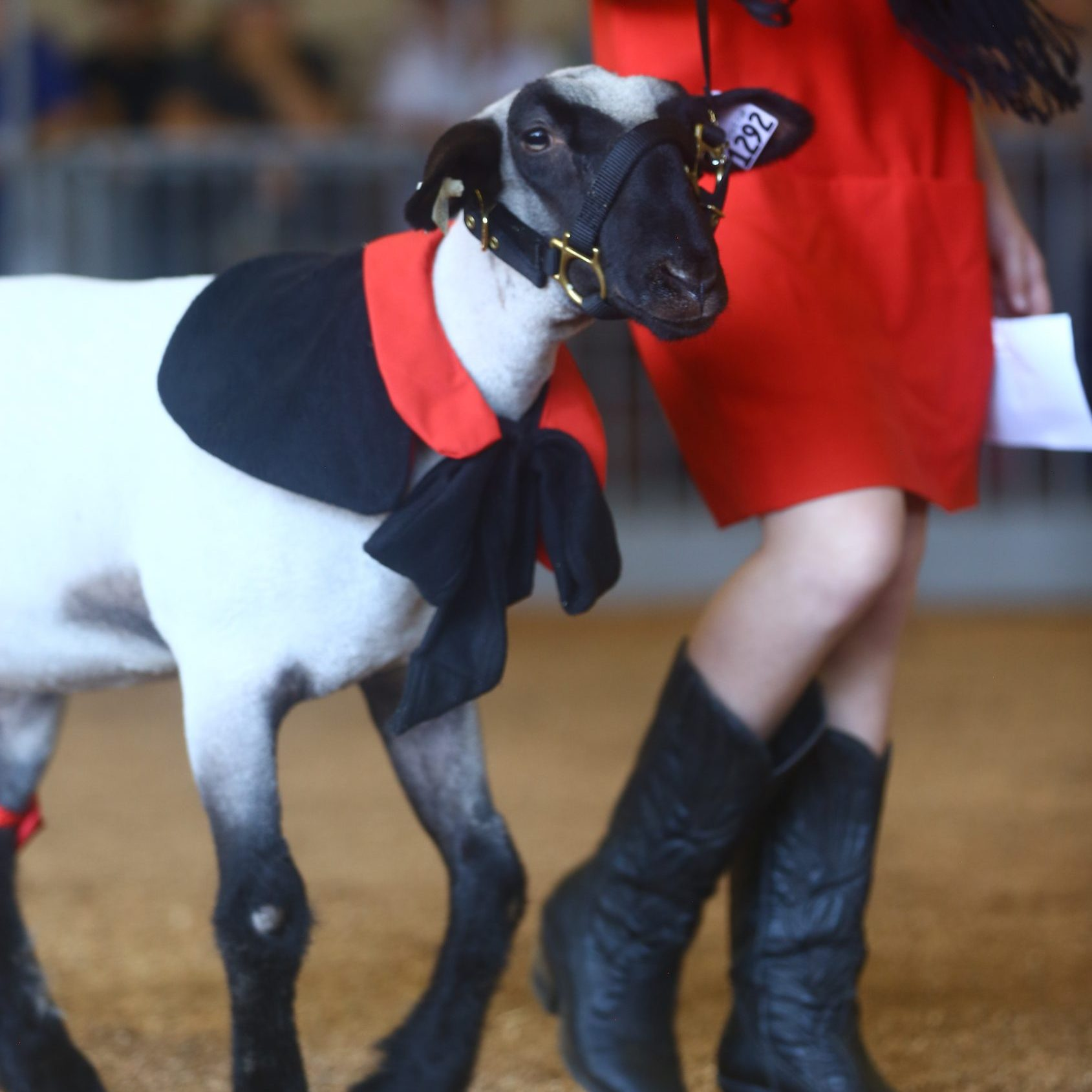Lamb dressed up with person