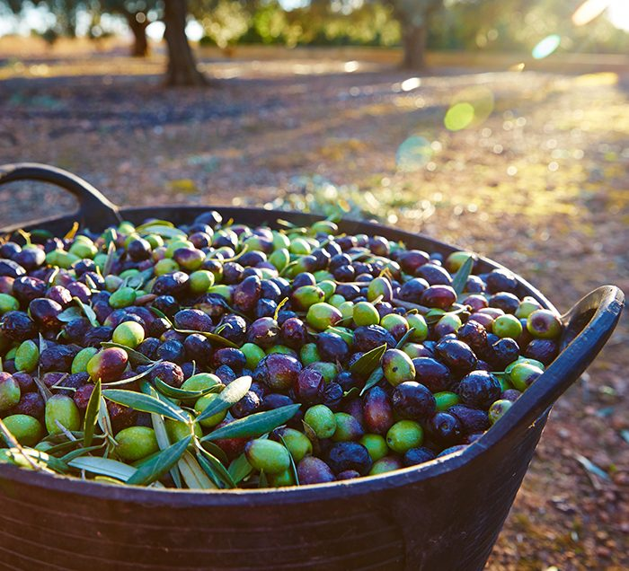 Olives in a Basket at an Olive Tree Farm