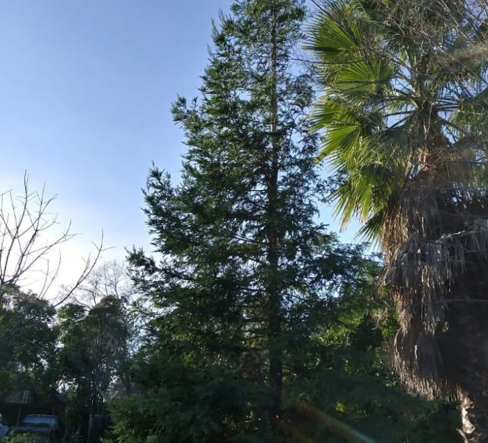 redwood tree from distance