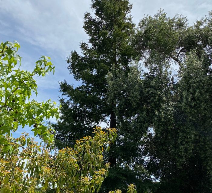 Redwood tree from a distance with other trees surrounding it